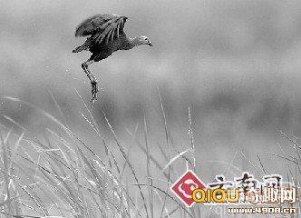 """紫水鸡是极其珍贵的大型水鸟,被誉为""""世界上最美丽的水鸟"""""""
