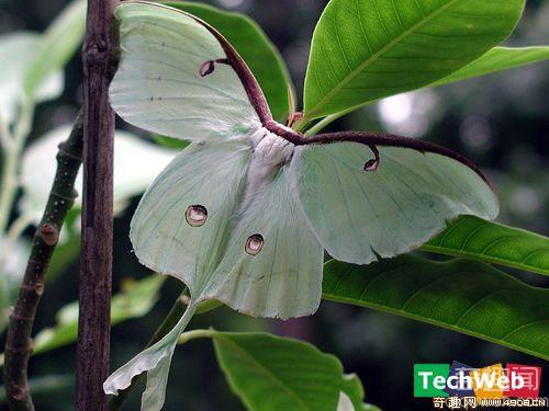 [多图]盘点世界上最美丽的十一种蛾类