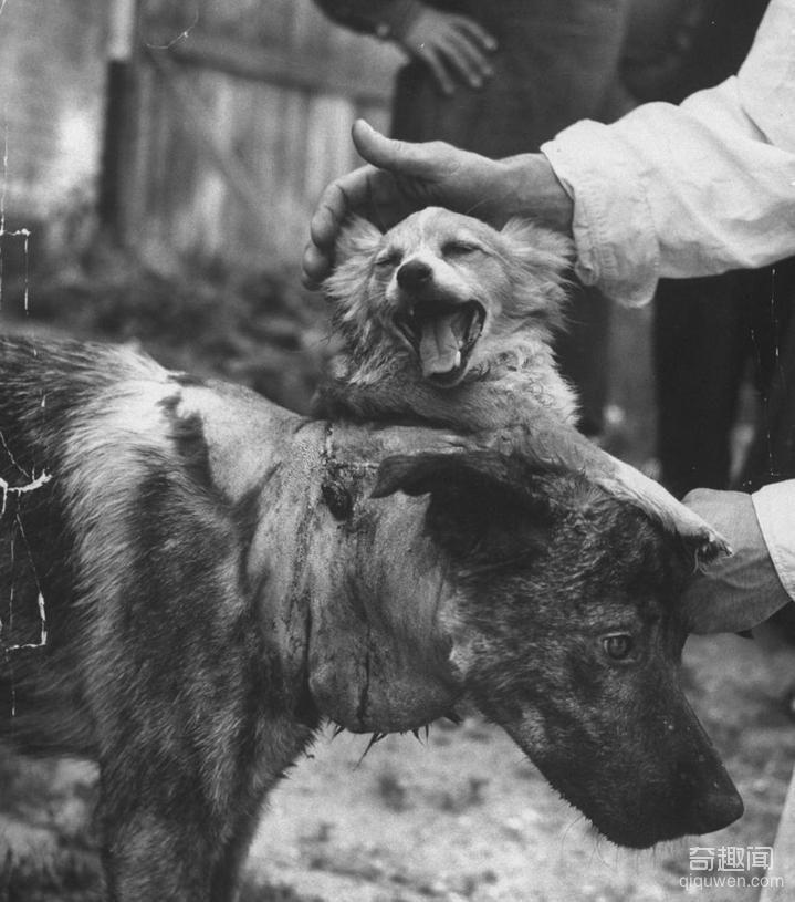1959年前苏联执行世界第一例狗头移植手术,结局太匪夷所思